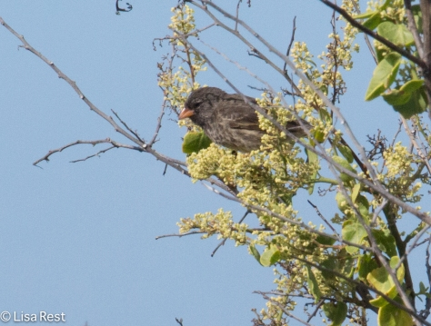 small-ground-finch-7-10-2016-5140