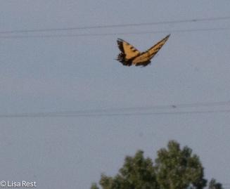 Tiger Swallowtail 08-14-16-9891