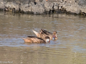 white-cheeked-pintails-7-10-2016-5363