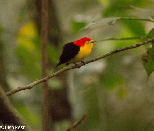 wire-tailed-manakin-07-08-2016-5993