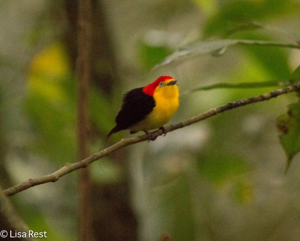 wire-tailed-manakin-07-08-2016-5995