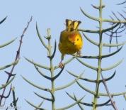 yellow-warbler-7-10-2016-5168