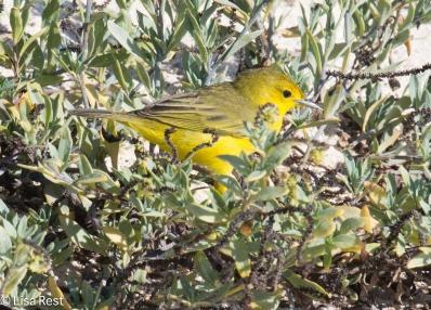 yellow-warbler-7-10-2016-5222