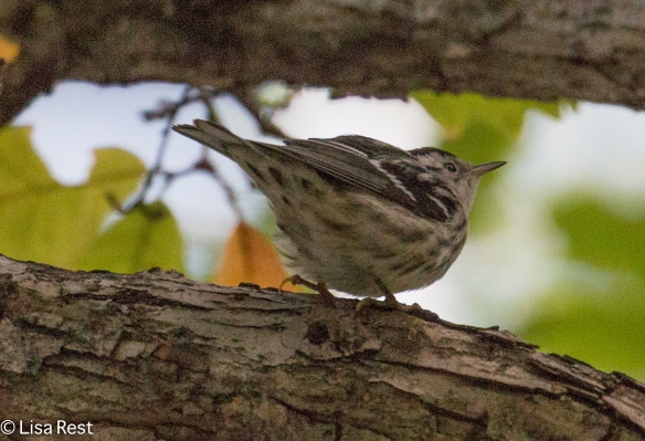 black-and-white-warbler-9-29-2016-lse-park-2118