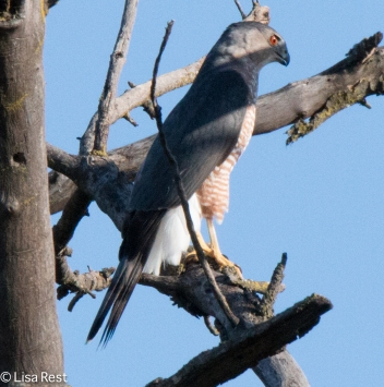 coopers-hawk-portage-10-23-16-3373