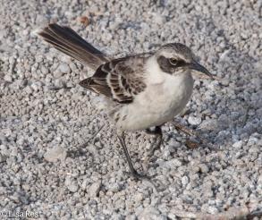 galapagos-mockingbird-7-11-16-6630