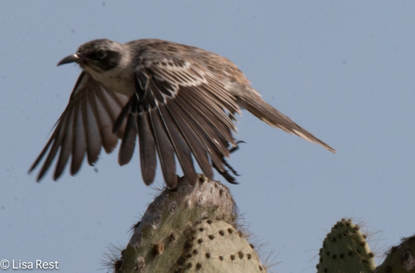 galapagos-mockingbird-7-11-16-7617