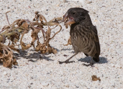 large-cactus-finch-7-11-16-7596