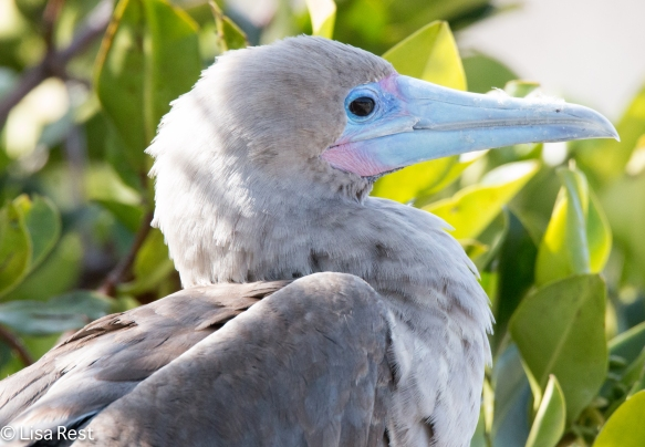 red-footed-booby-7-11-16-7559