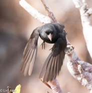 Sharp-Beaked Ground Finch