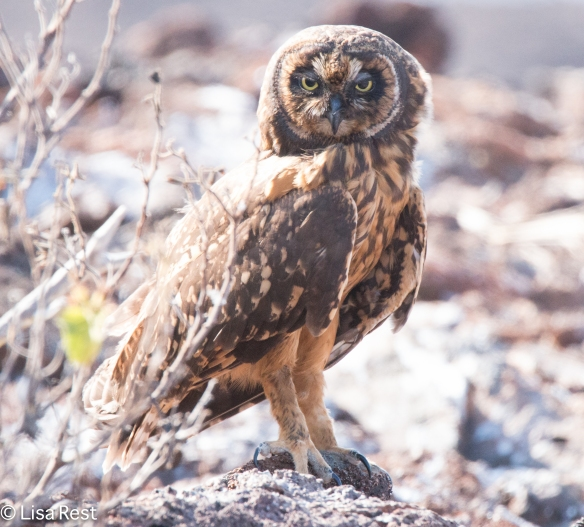 short-eared-galapagos-owl-7-11-16-7091