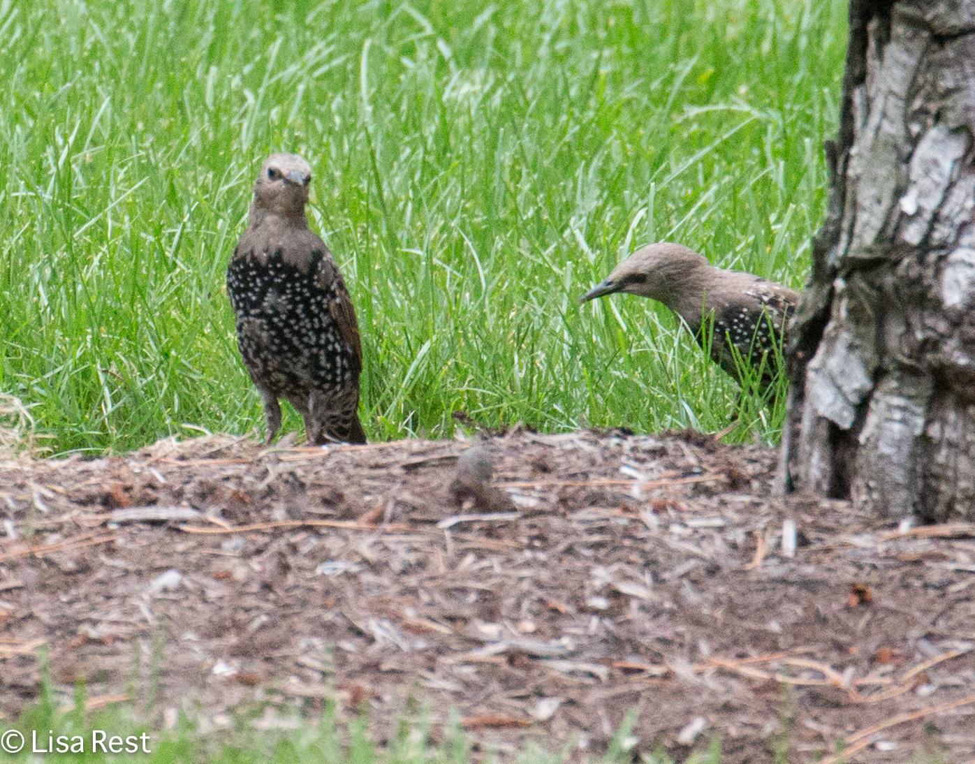 starlings-9-9-2016-lse-park-0604