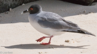 swallow-tailed-gull-7-11-16-7336