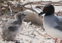 swallow-tailed-gull-with-chick-7-11-16-7417