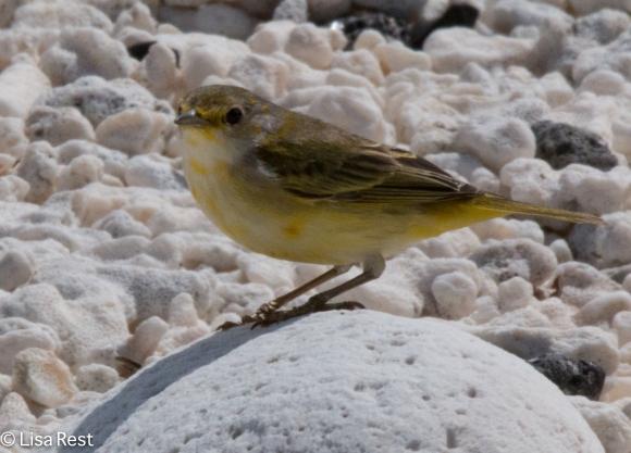 yellow-warbler-7-11-16-7433