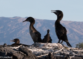 flightless-cormorants-7-12-16-8422