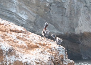 Galapagos Brown Pelicans