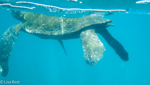 galapagos-green-turtle-7-12-16-0229