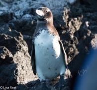 galapagos-penguin-07-12-2016-8466