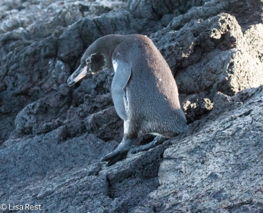 galapagos-penguin-7-12-16-8477