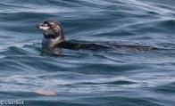 galapagos-penguin-7-12-2016-8184
