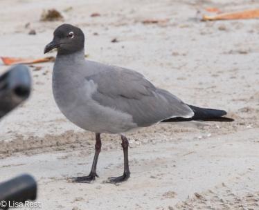 lava-gull-07-13-2016-8522