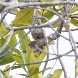 mangrove-finch-7-12-16-7938