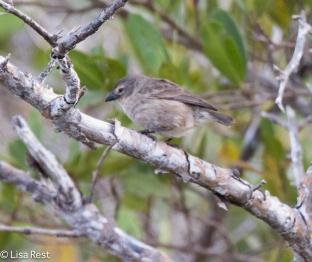 mangrove-finch-7-12-16-7963