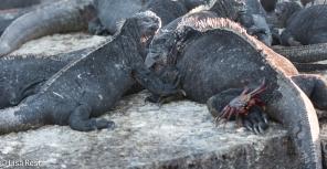 marine-iguanas-7-12-16-8439