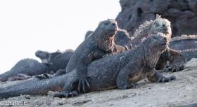 marine-iguanas-7-12-16-8448