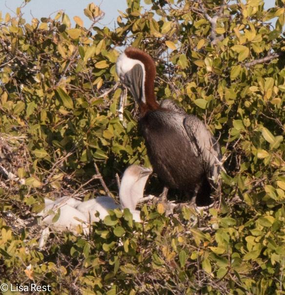 nesting-pelicans-7-12-16-8372
