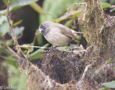 woodpecker-finch-07-13-2016-8786