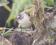 woodpecker-finch-07-13-2016-8792