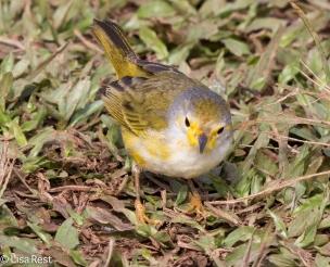 yellow-warbler-07-13-2016-8646