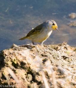 yellow-warbler-7-12-16-8269