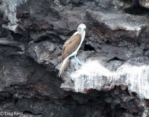 blue-footed-booby-07-14-2016-5738