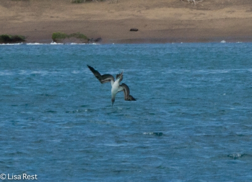 blue-footed-booby-07-14-2016-5792