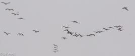 canada-geese-fermilab-12-17-16-5584