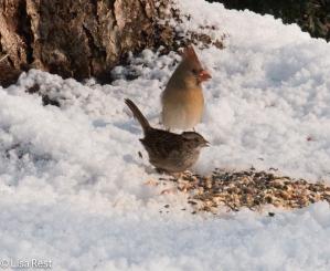 cardinal-and-wt-sparrow-12-12-16-5139