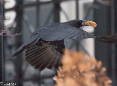 crow-12-16-16-5500