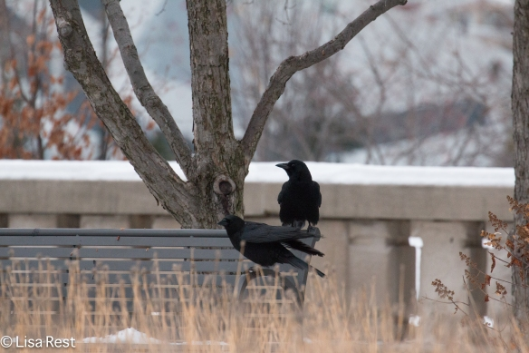 crows-12-16-16-5362