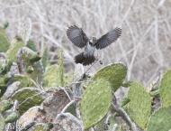 floreana-mockingbird-07-14-2016-5981