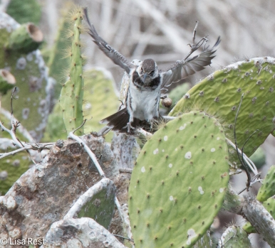 floreana-mockingbird-07-14-2016-5999