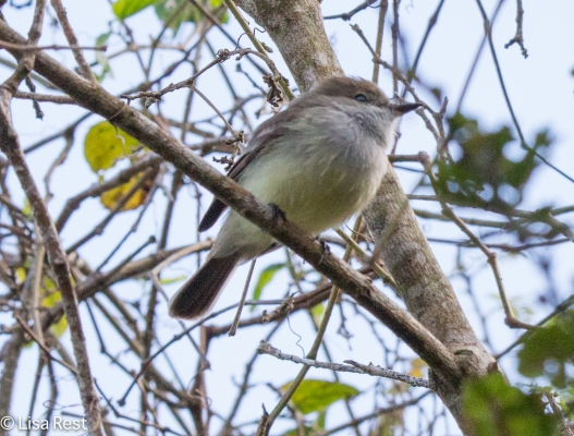 galapagos-flycatcher-07-14-2016-5494