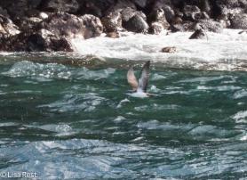 galapagos-shearwater-07-14-2016-6151