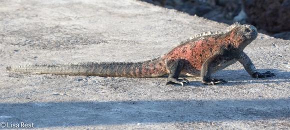 marine-iguana-07-14-2016-5447