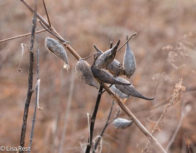 milkweed-portage-thaw-12-26-16-5942