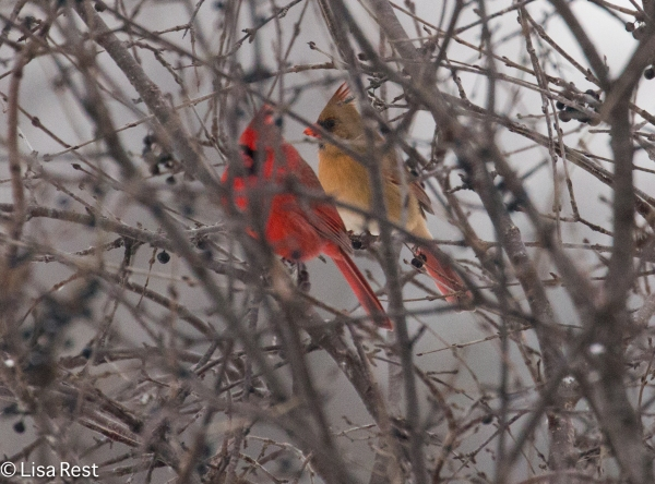northern-cardinals-fermilab-12-17-16-5561