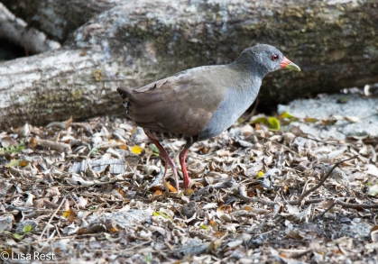 paint-billed-crake-07-14-16-5591
