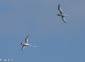 red-billed-tropicbirds-07-14-2016-6221